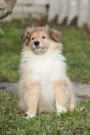 Adorable puppy of Scotch collie with gorgeous look sitting in the garden photo