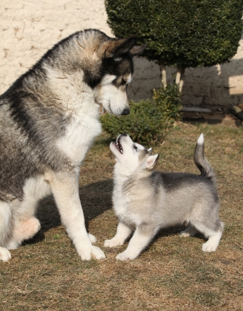 Alaskan malamute parent playing with puppy on the garden Reklamní fotografie