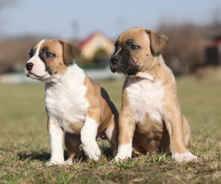 Two nice little puppies of American Staffordshire Terrier together in exterier photo