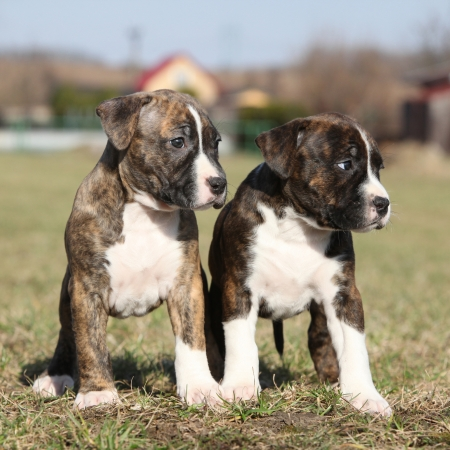 Two nice little puppies of American Staffordshire Terrier together in exterier Stock Photo - 25483639