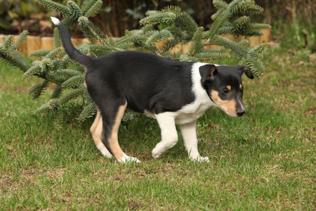 Adorable puppy of Collie Smooth moving in the garden photo