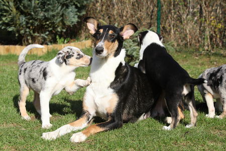 bitch: Bitch of Collie Smooth with its puppies lying in nice garden