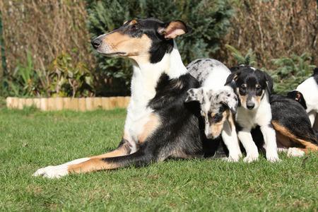 puta: Perra de Collie Smooth con sus cachorros acostado en bonito jard�n