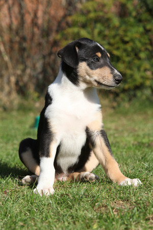 Adorable puppy of Collie Smooth in nice garden photo