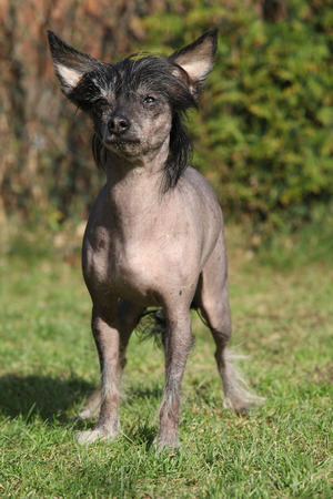 Amazing Chinese Crested Dog looking angry in the garden