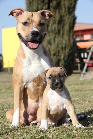 stafford: Bel Stafford con il piccolo cucciolo seduti insieme in erba