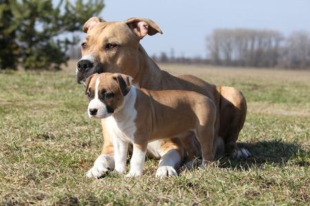 bitch: Amazing Stafford bitch lying with its puppy