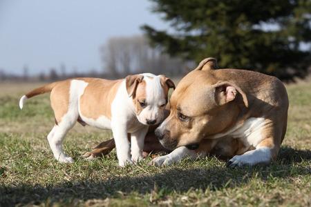 bitch: Incre�ble perra Stafford acostado con su perrito