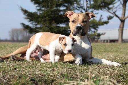 stafford: Incredibile cagna Stafford si trova con il suo cucciolo