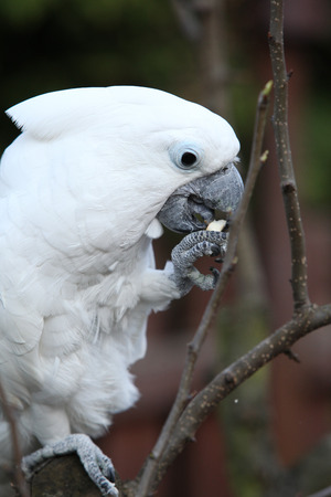 white bird: white bird parrot cockatoo in the garden Stock Photo