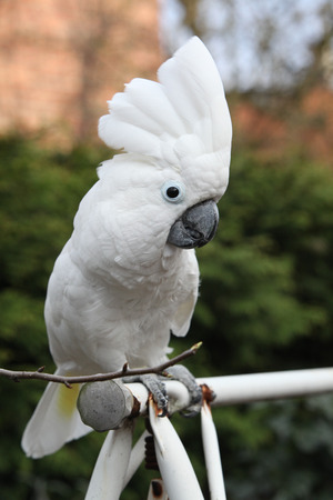 Sulphur-crested Cockatoo Parrot looking at you in the garden Stock Photo