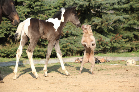 Nice young dog playing with foal outside