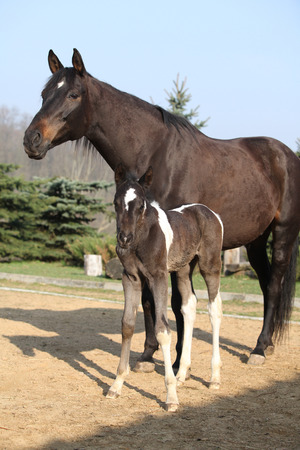 piebald: Nice brown mare with its piebald foal in outdoor