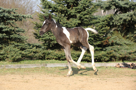 skewbald: Skewbald foal running alone in nature outdoor
