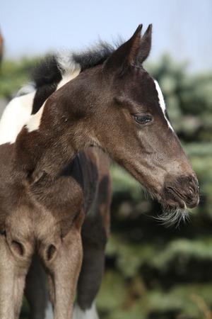 skewbald: Beautiful skewbald foal exploring the world in spring