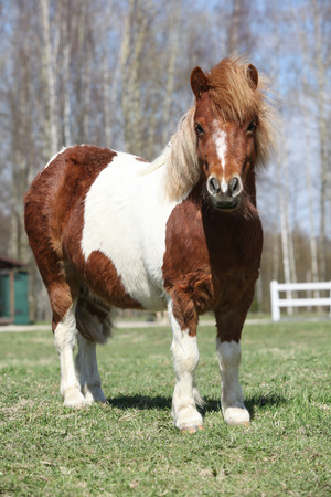 skewbald: Beautiful skewbald Shetland pony standing alone in outdoor
