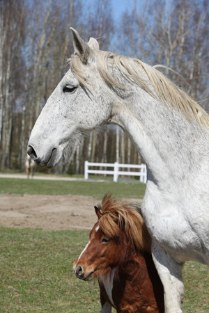 warmblood: Big white warmblood horse with pony friend