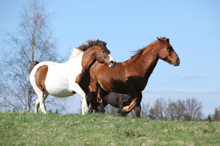 Nice horses running together on spring pasturage photo