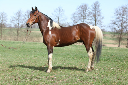 inaction: Gorgeous pinto stallion with nice bridle standing