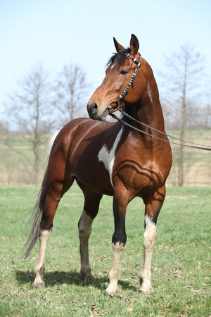 skewbald: Gorgeous pinto stallion with nice bridle standing