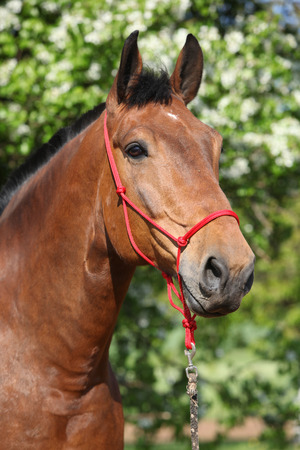 halter: Amazing brown horse with red rope halter looking at you