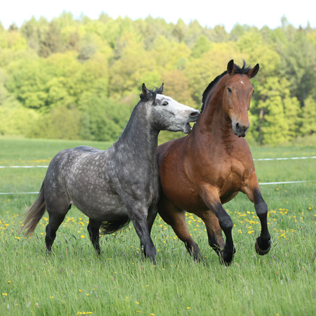 Two amazing horses playing in fresh grass on pasturage photo