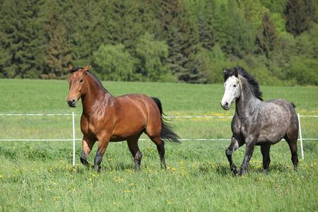 Two amazing horses running in fresh grass on pasturage photo
