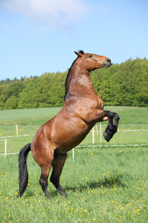 warmblood: Gorgeous big brown horse prancing in spring nature Stock Photo
