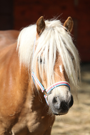 halter: Beautiful haflinger with colorfull halter in paddock