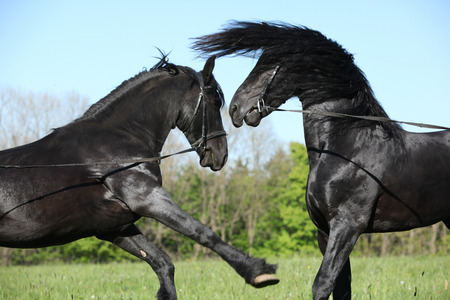 mottle: Due stalloni splendidi combattimenti a molle natura Archivio Fotografico