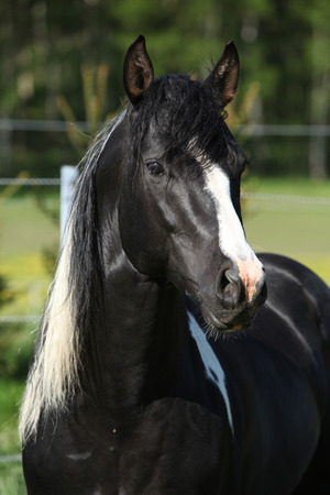 inaction: Amazing paint horse stallion looking directly at you Stock Photo