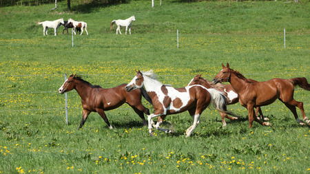 piebald: Batch of beautiful horses running on spring pasturage Stock Photo