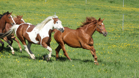 pasturage: Batch of beautiful horses running on spring pasturage Stock Photo