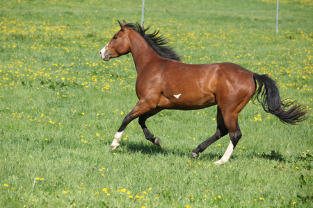 skewbald: Gorgeous paint horse mare running on springs pasturage