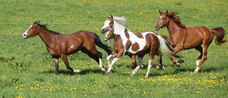 batch: Lote de hermosos caballos que se ejecutan en los pastos de primavera