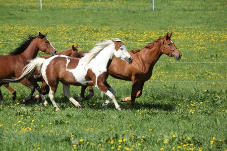 batch: Batch of beautiful horses running on spring pasturage Stock Photo