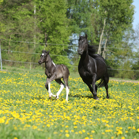 Amazing mare with foal running on springs pasturage photo