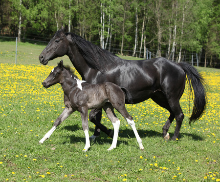 skewbald: Amazing mare with foal running on springs pasturage