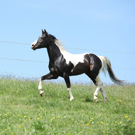 skewbald: Gorgeous black and white stallion of paint horse running on spring pasturage