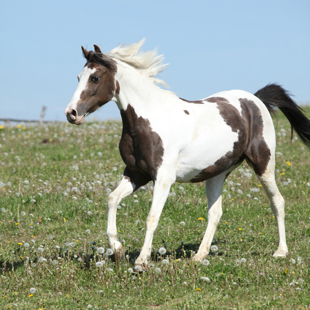 Gorgeous spotted horse with flying mane running on spring pasturage