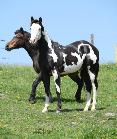 Nice paint horses standing together on pasturage photo