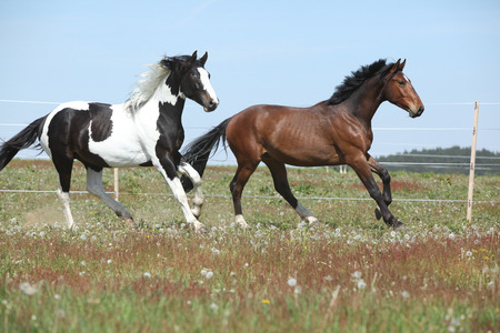 piebald: Two amazing horses running together on spring pasturage