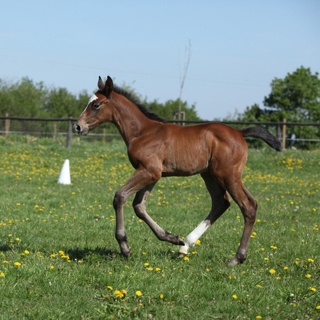 filly: Beautiful brown filly on spring pasturage alone