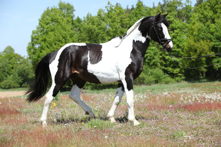 skewbald: Beautiful skewbald stallion with nice haircut in flowered nature Stock Photo