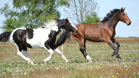 Two amazing horses running together on springs pasturage photo