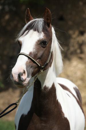 skewbald: Portrait of beautiful skewbald pony with show halter