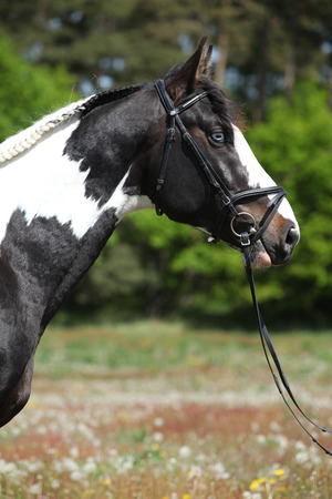 piebald: Portrait of beautiful skewbald stallion with bridle