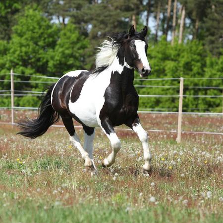 skewbald: Amating skewbald horse running on flowering pasturage