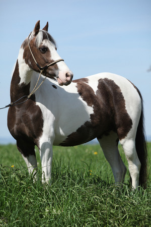 halter: Portrait of beautiful skewbald pony with show halter