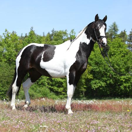 skewbald: Beautiful skewbald horse with perfect haircut in flowered scenario